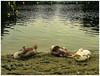 Jonge zwanen, Brielse Meer