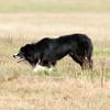 Continental Sheepdog-1708