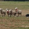 Continental Sheepdog-1834