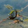 Dragonfly on Pond