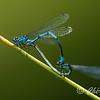 Ischnura heterosticta; Common Bluetail Damselfly; waterjuffer; libelle; dragonfly. macro photography; pond; insect; arboretum Dreijen; wageningen
