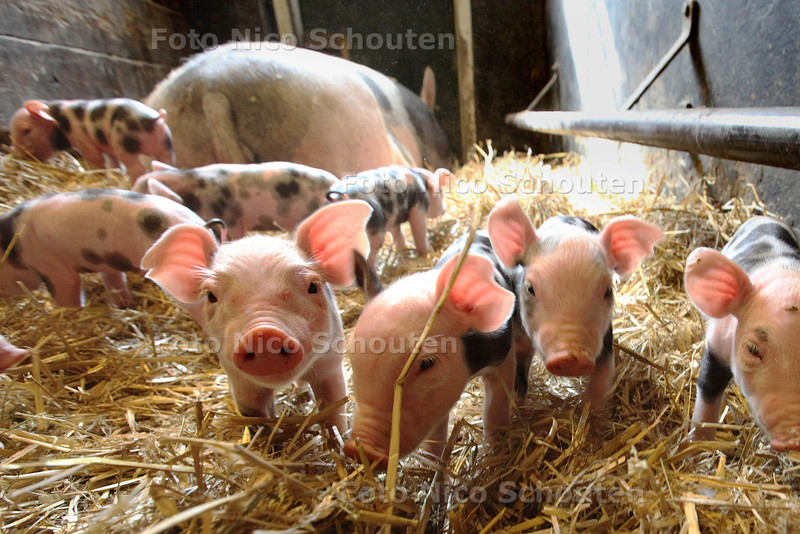 biggetjes geboren op stadsboerderij het buitenbeest - ZOETERMEER 6 AUGUSTUS 2013 - FOTO NICO SCHOUTEN