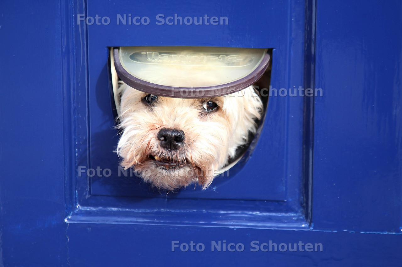 Hondje te groot voor katteluik. Op het Raam in Delft is het even schrikken als dit hondje zijn kopje door dit katteluikje steekt en vervaarlijk blaft. Het liefst zou hij er doorheen springen maar daar is hij net te groot voor DELFT 10 FEBRUARI 2013 - FOTO NICO SCHOUTEN