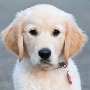 Golden Retriever Joop als pup
