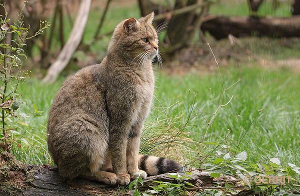 Europese Kat