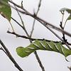 Vlinders en rupsen in de kassen van de Passiflorahoeve.