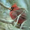 Rode Kardinaal