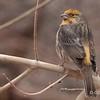 Wevervogel