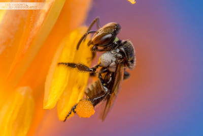 Stingless Bee