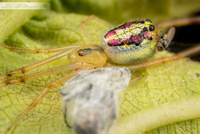 Combfooted Spider