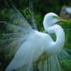 Egret on display