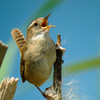 Marsh Wren at Full Tilt