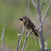 232-Common Yellowthroat