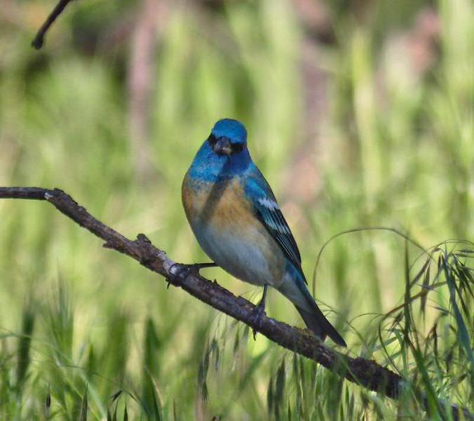 Lazuli Bunting: profile