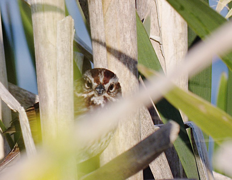 Song Sparrow in reeds