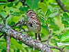 Song Sparrow, Laudholm Farm, Wells ME