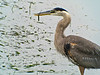 Great Blue Heron, Talbot Marsh, Newport CA