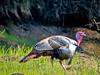 Wild Turkey, Rachel Carson NWR, Wells ME 5/10