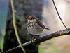 Ovenbird, Rachel Carson NWR, Digiscoped