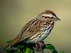 Song Sparrow, Parsons Beach, Kennebunk ME 5/10