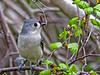 Tufted Titmouse, Kennebunk ME, 5/10 Digiscoped Zeiss Diascope65FL