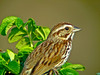 Song Sparrow, Parson's Beach, Kennebunk, ME 5/10