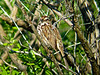 Song Sparrow, Parsons Beach, Kennebunk ME 5/10