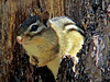 Chipmonk, Rachel Carson NWR, Digiscoped