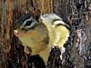 Chipmonk, Rachel Carson NWR, Digiscoped