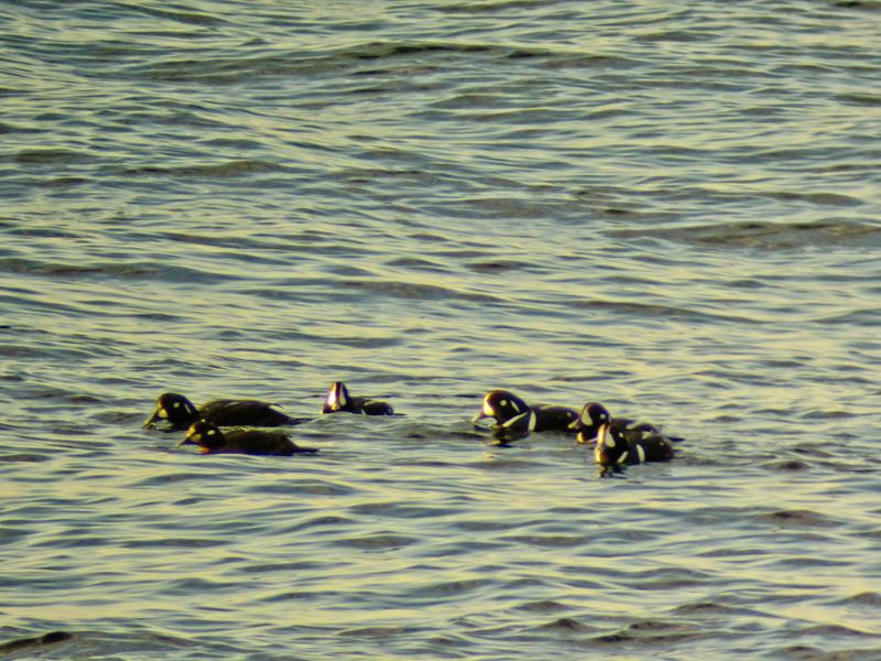 Harliquin Ducks, Cape Neddick ME, DiaScope 65FL