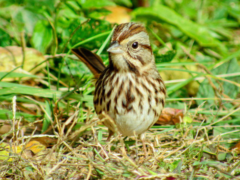 Song Sparrow, Cape May NJ, Digiscoped ZEISS DiaScope 65FL