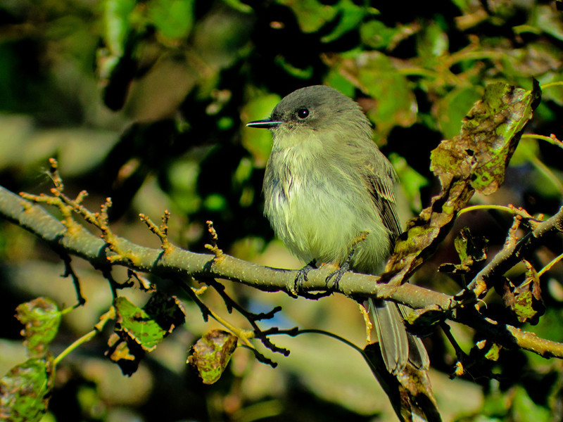Eastern Phoebe, Cape May NJ Digiscoped ZEISS DiaScope 65FL