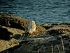 Snowy Owl, Nubble Light, Cape Neddick ME, DisScope 65FL