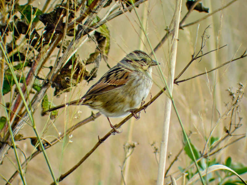 Swamp Sparrow, Cape May NJ, Digiscoped with ZEISS DiaScope 65FL
