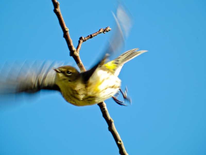 Yellow-rumped Warbler, Cape May NJ, Digiscoped with ZEISS DiaScope 65FL