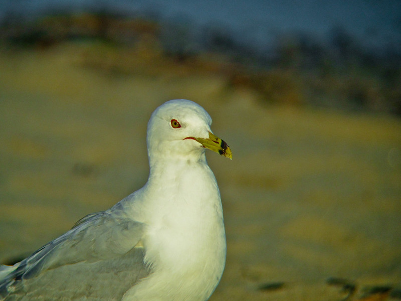 Ring-billed Gull, Parson's Beach, Kennebunk, ME 7/10 Digiscoped w/ DiaScope 65