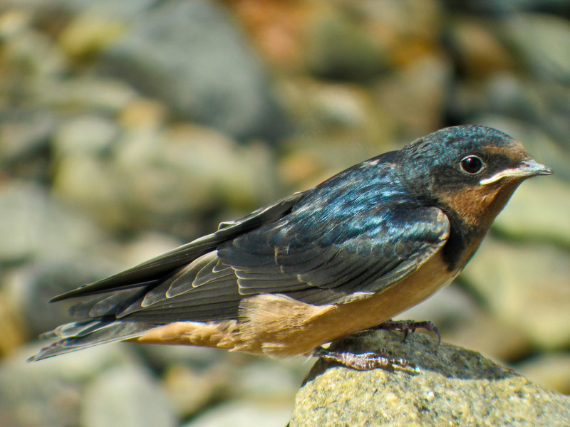 Barn Swallows (fledglings), Parson's Beach, Kennebunk ME 7/10 Digiscoped ZEISS DiaScope65FL