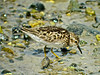 Least Sandpiper, Parson's Beach, Kennebunk ME 7/10 Digiscoped, ZEISS DiaScope65FL