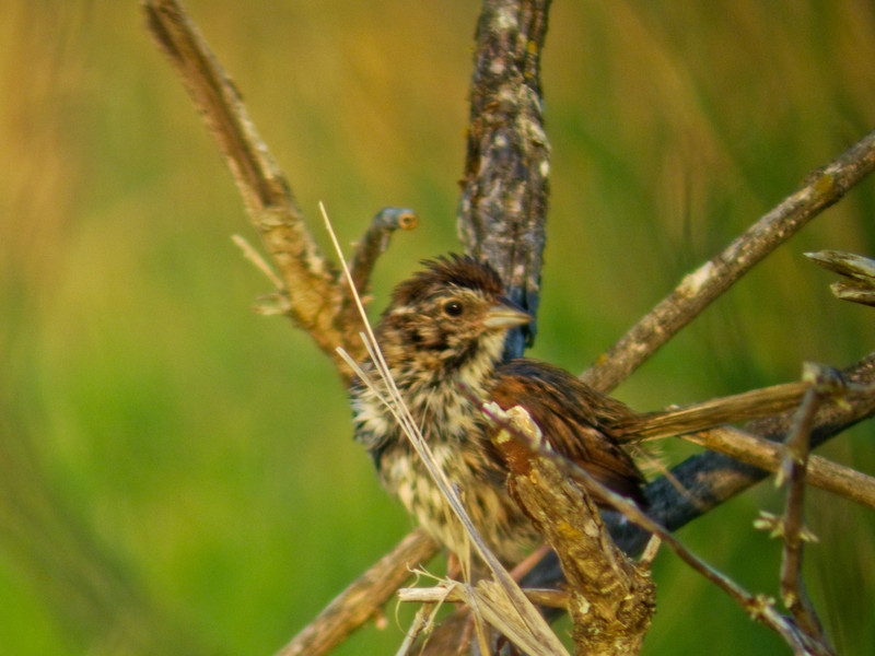 Song Sparrow, Parson's Beach, Kennebunk ME 7/10 Digiscoped w/ DiaScope 65
