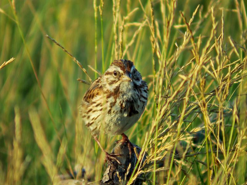 Song Sparrow, Parson's Beach, Kennebunk ME 7/10 Digiscoped w/ DiaScope 65