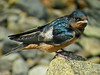 Barn Swallows (fledglings), Parson's Beach, Kennebunk ME 7/10 Digiscoped ZEISS DiaScope65FL