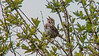 Song Sparrow, Back Creek, Kennebunk ME