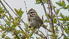 Song Sparrow, Back Creek, Kennebunk ME