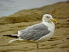 Herring Gull, a beach, Kennebunk ME, Digiscoped, ZEISS DiaScope 65FL