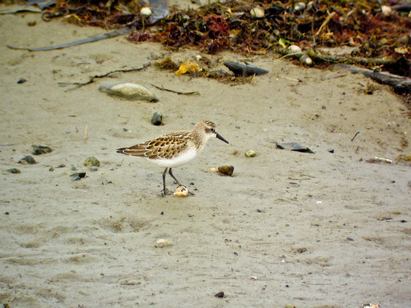 Least Sandpiper, Kennebunk ME, Digiscoped, ZEISS DiaScope 65FL