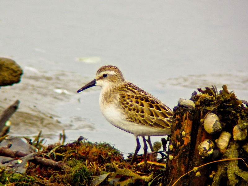Semi-palmated Sandpiper, a beach, Kennebunk ME , Digiscoped, ZEISS DiaScope 65FL