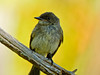 Eastern Phoebe, Kennebunk Bridle Path, Kennebunk ME Digiscoped ZEISS DiaScope 65FL