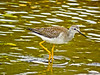 Lesser Yellowlegs, a beach, Kennebunk ME, Digiscoped, ZEISS DiaScope 65FL