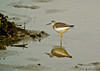 Lesser Yellowlegs, a beach, Kennebunk ME, Digiscoped, ZEISS DiaScope 65FL
