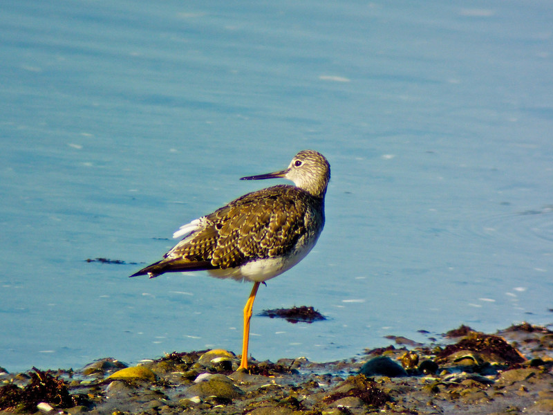 Greater Yellowlegs, Kennebunk ME, Digiscoped, ZEISS DiaScope 65FL